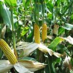 România are cel mai mic randament din UE la producţia de grâu şi porumb