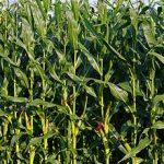 Un agricultor francez vrea să-i învețe pe români cum să dubleze producția de porumb