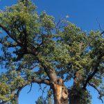 """Un stejar de 750 de ani din România ar putea câștiga titlul de """"Arborele European al Anului"""". Puteți vota aici"""