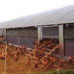 """Comisia Europeana vrea interzicerea """"custilor neimbunatatie"""" pentru gainile ouatoare"""